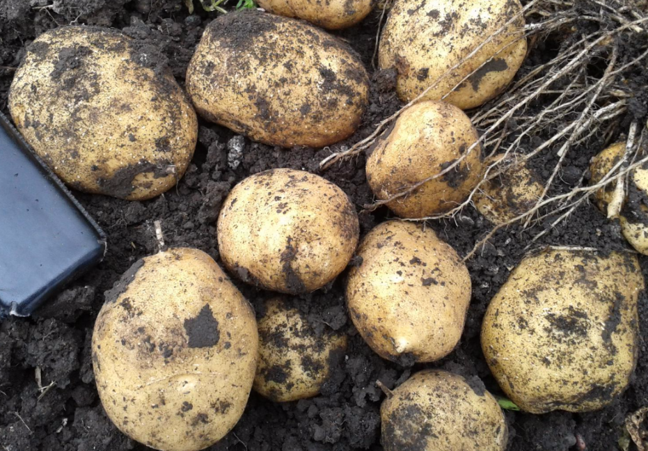 картофель голландка описание сорта фото отзывы