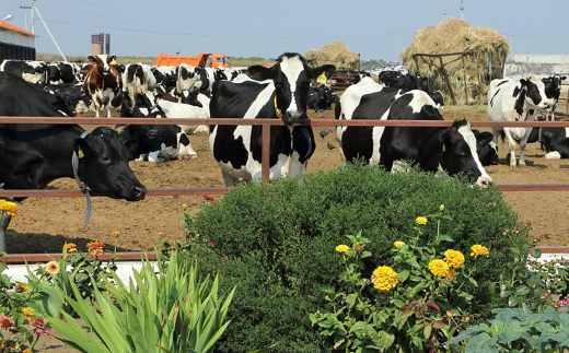 пастбища коров фото для