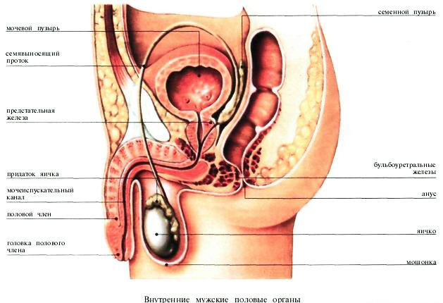 наружные половые органы мужчин фото классификация